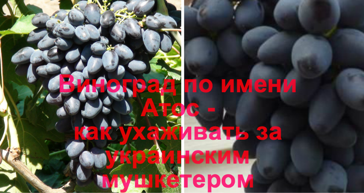 Виноград граф монте кристо описание сорта фото