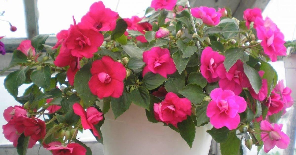 Всё о том, почему не цветет комнатный бальзамин, а растут только листья