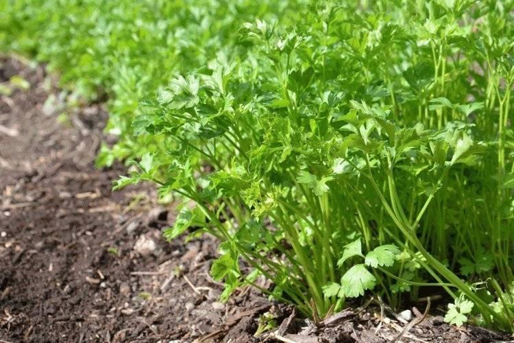 Прореживание овощей: что, когда, зачем и как не выдернуть лишнего