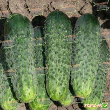 Огурец «апрельский f1»: описание гибридного сорта, фото и отзывы
