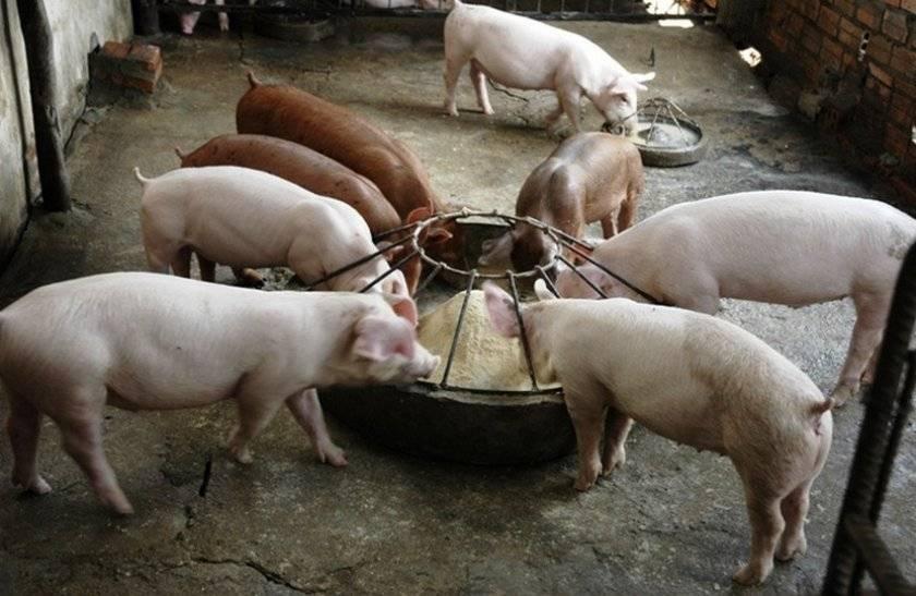 Из чего делают комбикорм для поросят и свиней, виды и лучшие производители