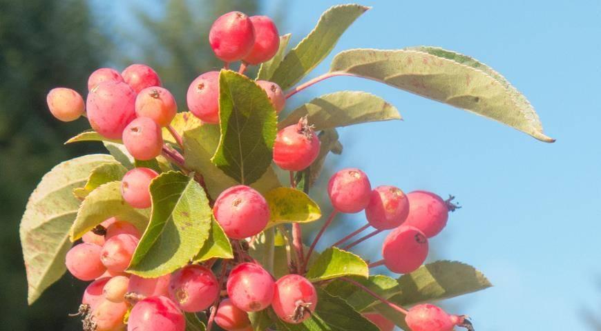 Яблоня рождественское: особенности сорта и ухода