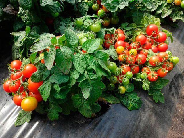 Непасынкуемые сорта томатов