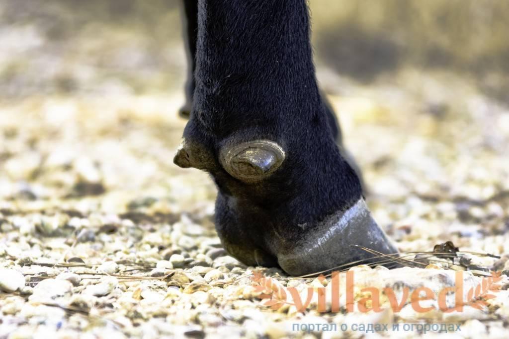 Копытная гниль у коров: причины, симптомы, фото, чем лечить