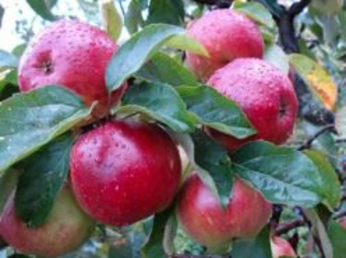Лучшие сорта яблони для ленинградской области