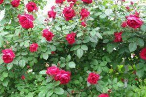 Изысканное украшение для сада: описание и выращивание розы чиппендейл