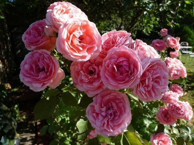 Розы: посадка и уход в открытом грунте для новичков