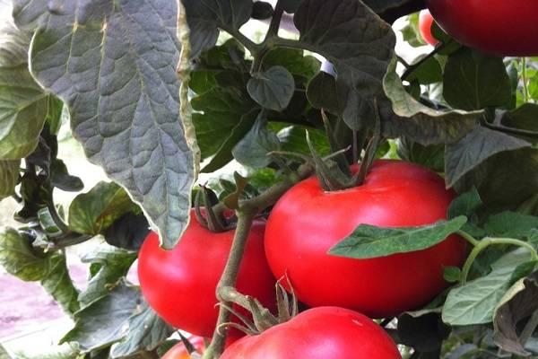 Желанный гость на загородном участке – томат «белле f1»: описание и фото сорта