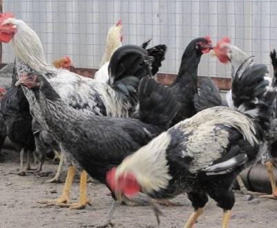 Породы черных кур: лучшие из лучших