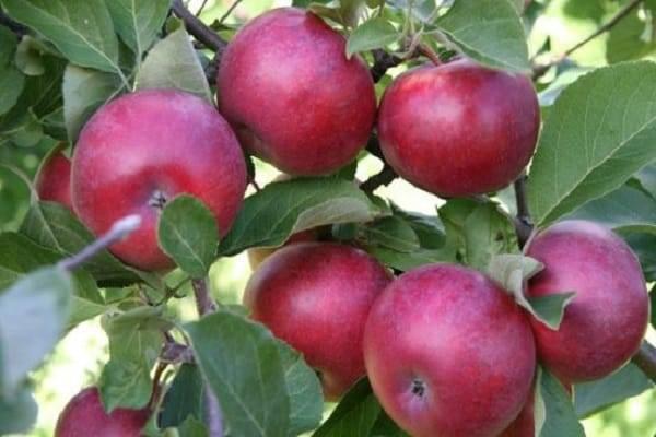Описание и характеристики яблонь сорта Лобо, разновидности, посадка и уход