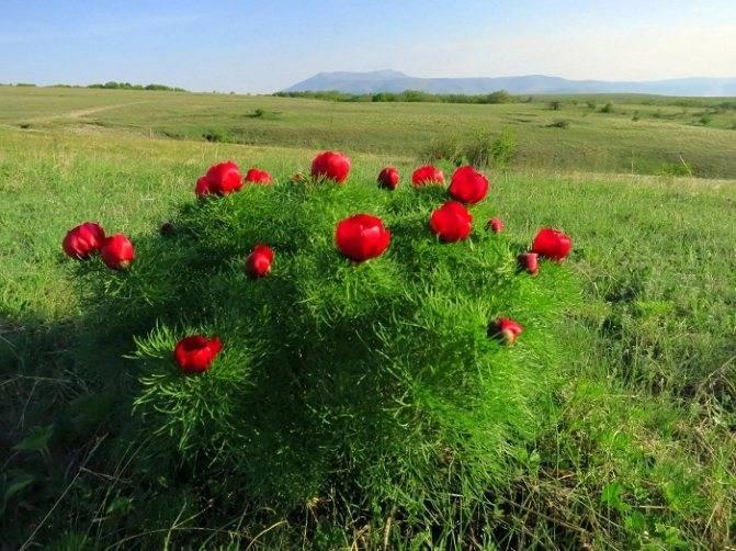 Выращивание тонколистных пионов в саду