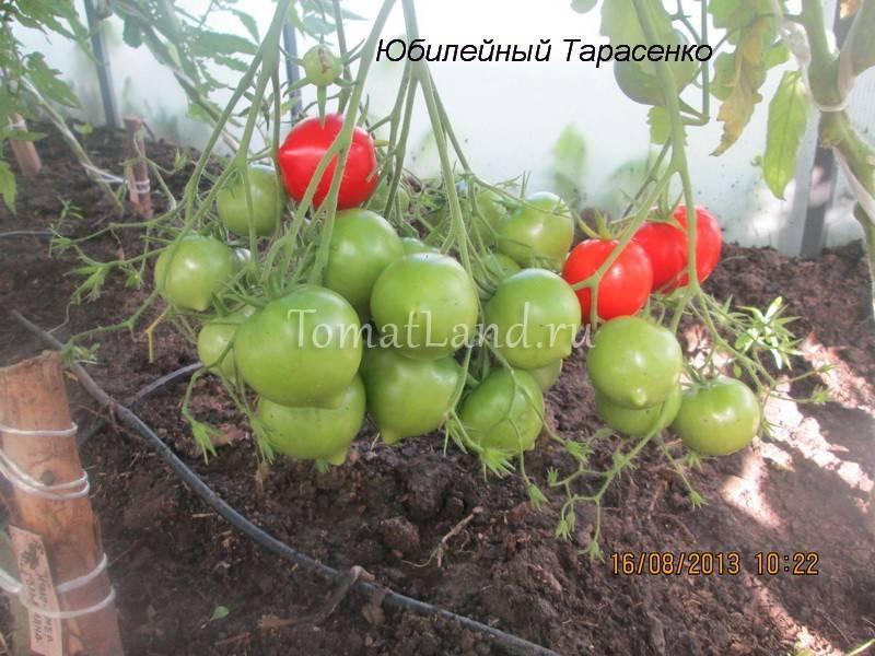 Томат «щелковский ранний»: описание сорта, характеристики помидоров