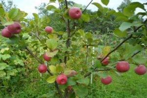 Описание особенностей созревания и плодоношения декоративной яблони Ола