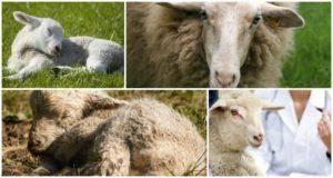 От каких животных произошли овцы, кто родоначальники и где обитают их предки