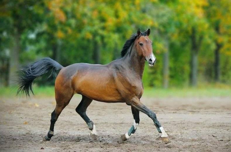 Каурая масть лошади фото