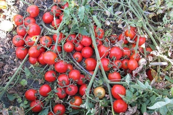 Томат черный принц: особенности сорта и 12 советов по выращиванию и уходу