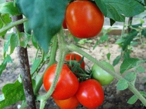 Томат бурковский ранний: характеристика и описание сорта, урожайность с фото