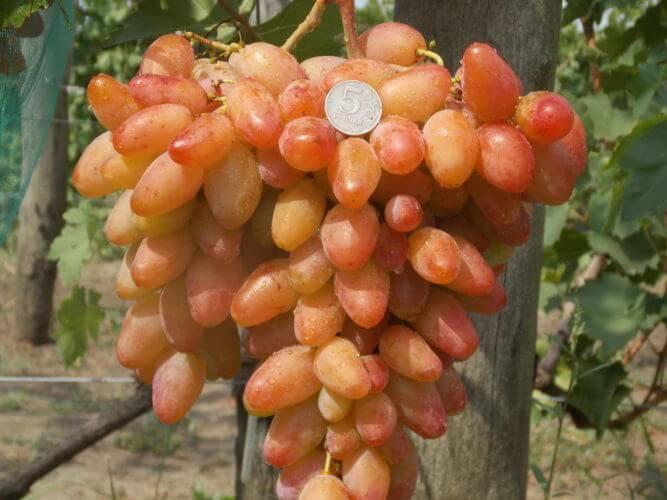 Самый любимый столовый сорт — виноград «лора» или «флора»