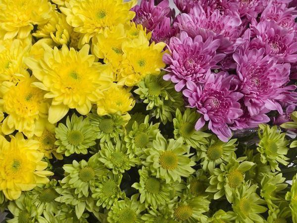 Описания видов лучших сортов хризантем, зимующих в открытом грунте и многолетних