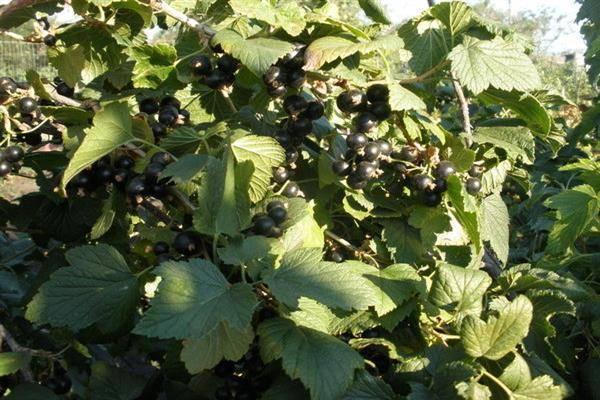 Описание и характеристики смородины сорта добрыня, посадка и уход