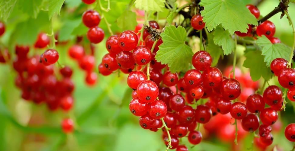 Красная смородина: посадка и уход, обрезка и размножение