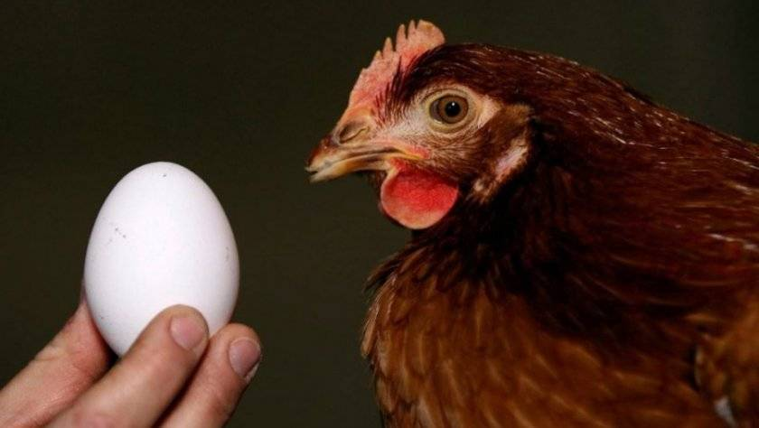 Курица снесла яйцо без скорлупы в пленке — что случилось с несушкой?