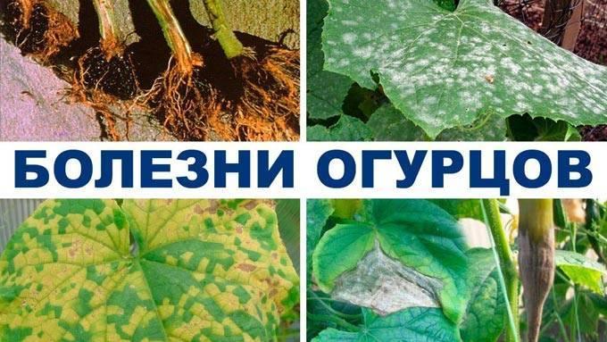 Лечение болезней огурцов в теплице после высадки, средства для обработки