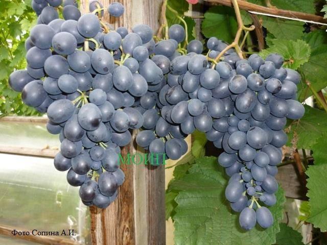 «рабочая лошадка» северных регионов россии — виноград «агат донской» («витязь»)