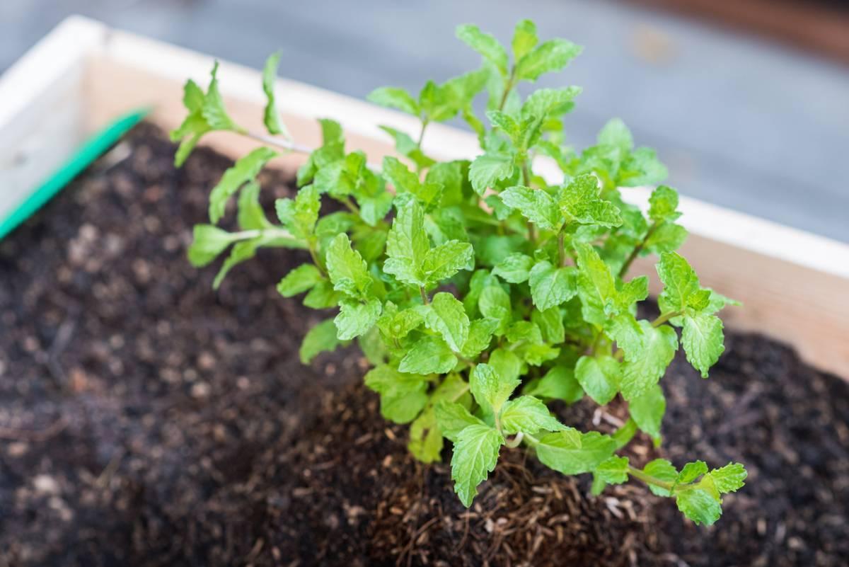Душистая и полезная мелисса — советы по выбору семян и посадке в открытый грунт