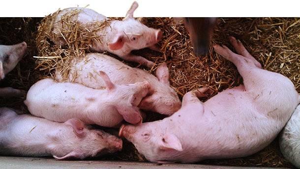 Симптомы и лечение сальмонеллеза у свиней, меры профилактики паратифа