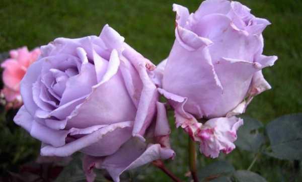 Фиолетовые розы, картинки или реальность, сорта и особенности выращивания