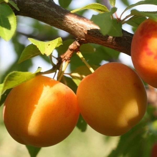Размножение сливы (алычи) зелеными черенками: летом, как вырастить, весной