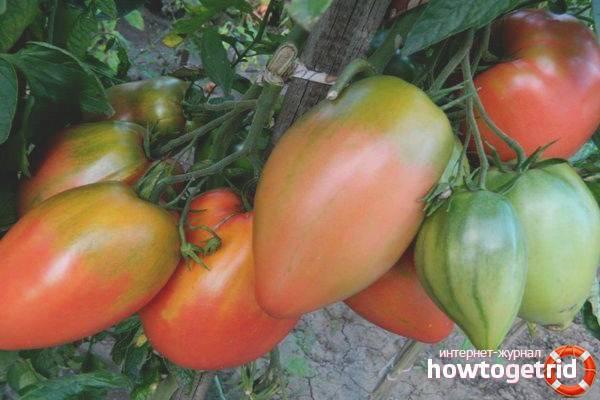 Сорт помидора «подсинское чудо»: фото, отзывы, описание, характеристика, урожайность