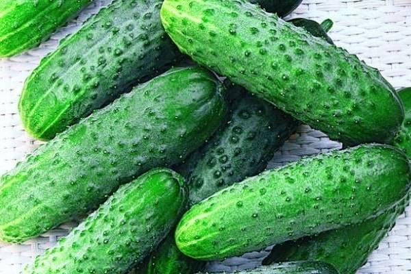 Ультраскороспелый и высокоурожайный гибрид огурца «петербургский экспресс f1»
