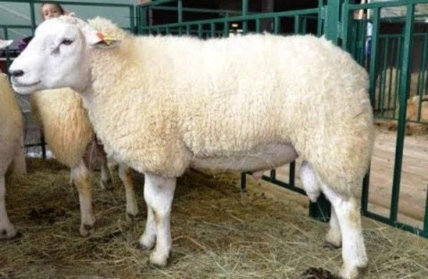 Разведение овец куйбышевской породы