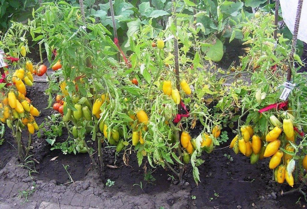 В домашних условиях рассаду помидоров обычно.