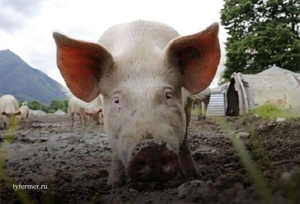 Нормальная температура у свиней и что делать, если она повышенная?
