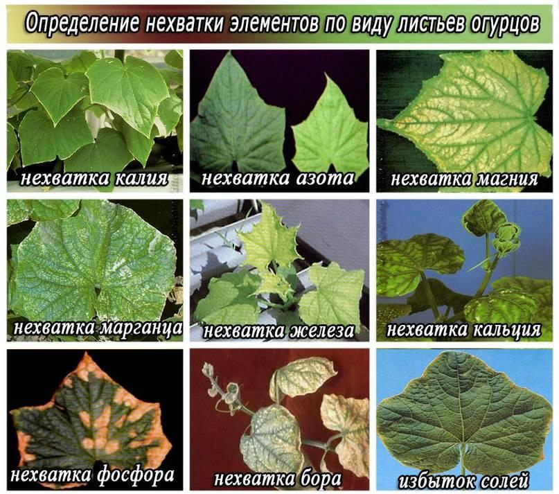 Лечение белых пятен на листьях огурцов