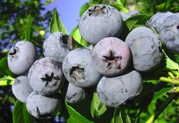 Голубика бонус: как вырастить на своём участке