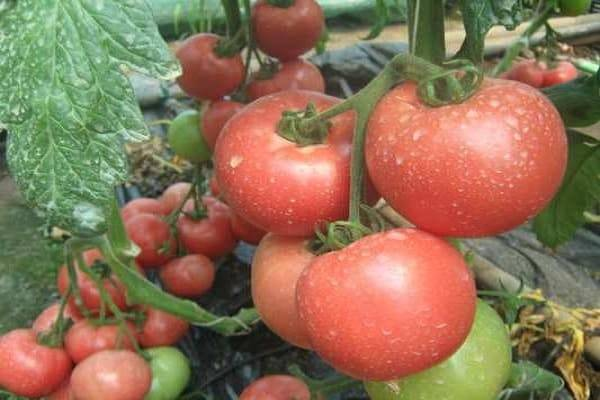 Томат суперстар: характеристика и описание сорта, урожайность с фото