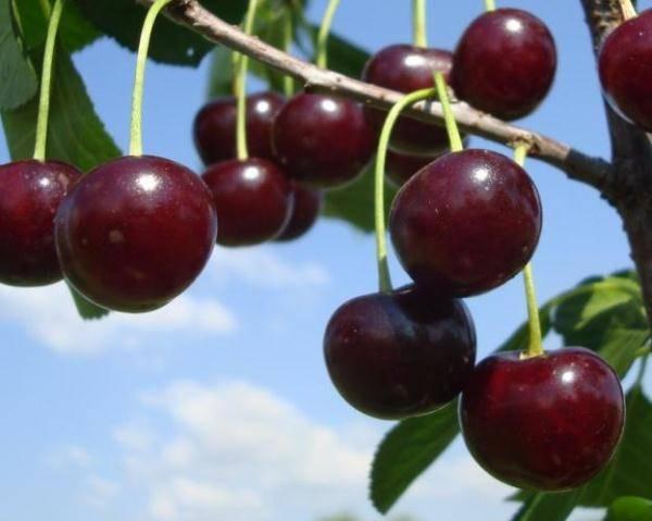 Вишня сорта любская. описание, красочные фото спелых ягод, отзывы и советы по выращиванию