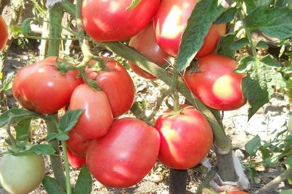 Томат «бетта» (16 фото): характеристика и описание сорта помидор, отзывы