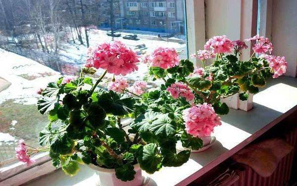 Хранение роз зимой в подвале. как сохранить зимой корнесобственную розу