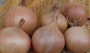Как правильно выращивать репчатый лук геркулес?