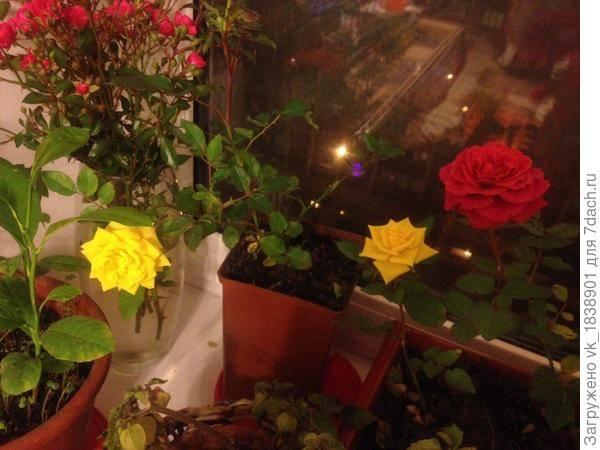 Особенности хранения роз зимой в подвале, как правильно выкопать куст