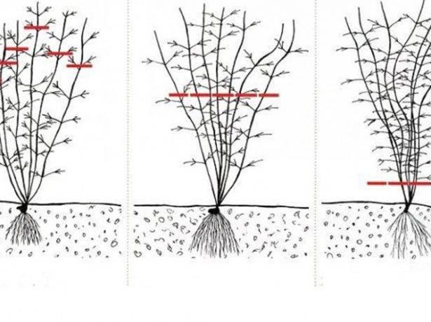 Клематисы «президент»: описание, группа обрезки и выращивание