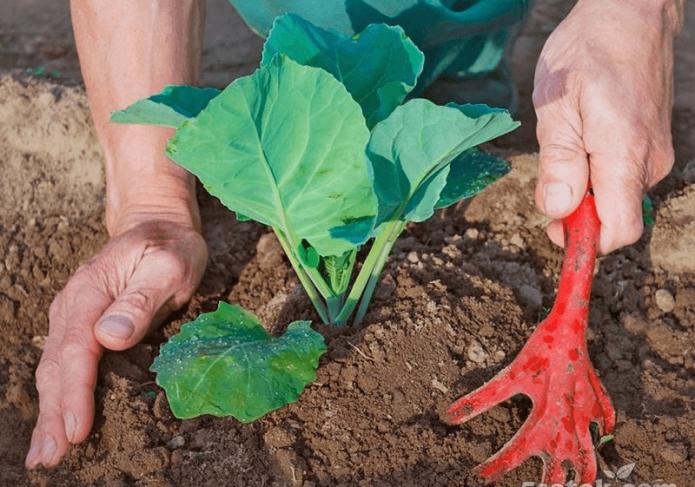 Выращивание рассады капусты в 2020: сроки посадки