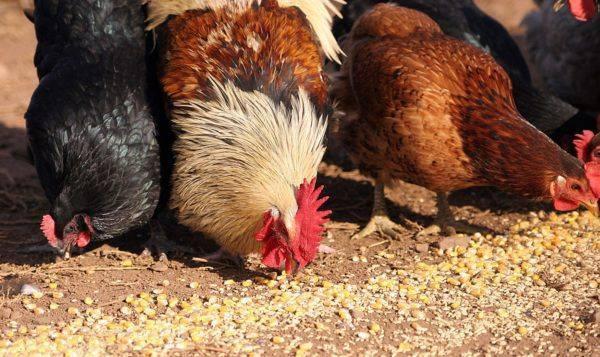 Как здоровый петух оплодотворяет курицу