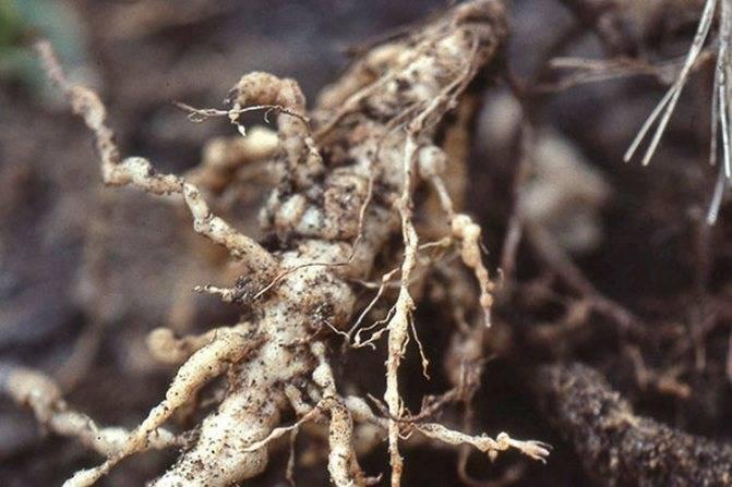 Причины и лечение болезней пионов, лучшие меры борьбы с вредителями