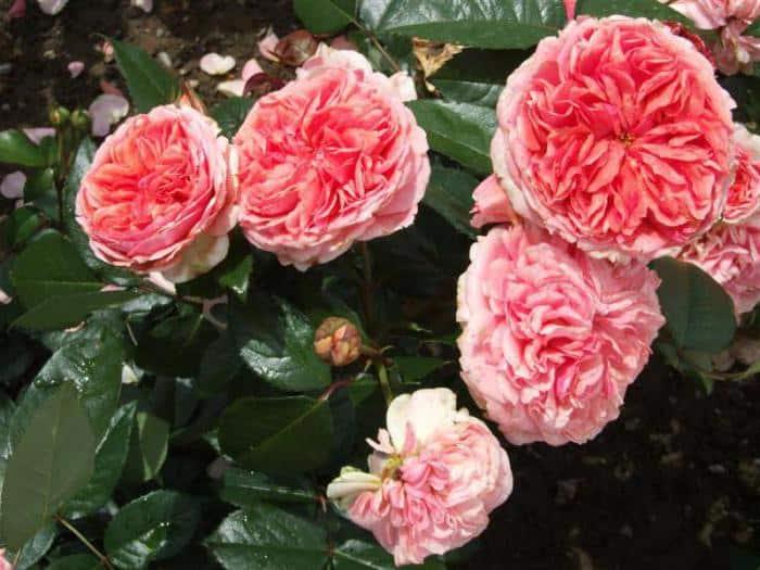 Роза чиппендейл (chippendale) — характеристики сортового кустарника